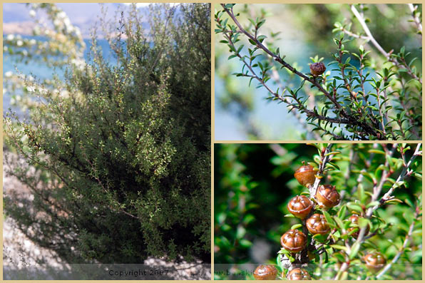manuka bush new zealand