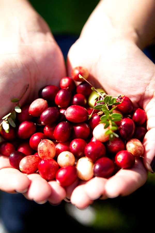 cranberries New England