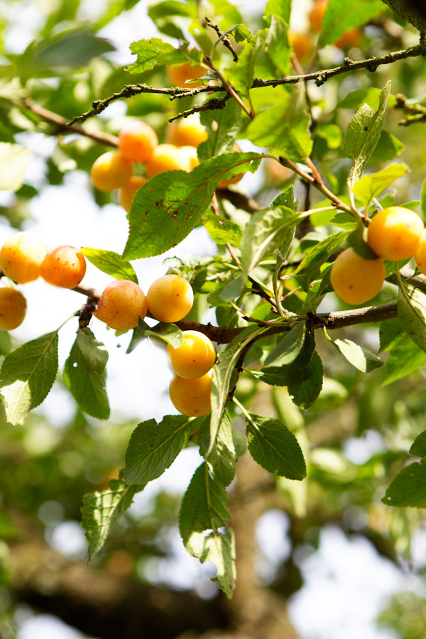 mirabelle tree lorraine france fruit