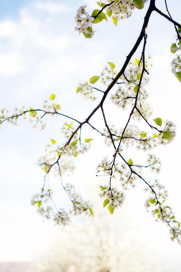 branchcherrytree