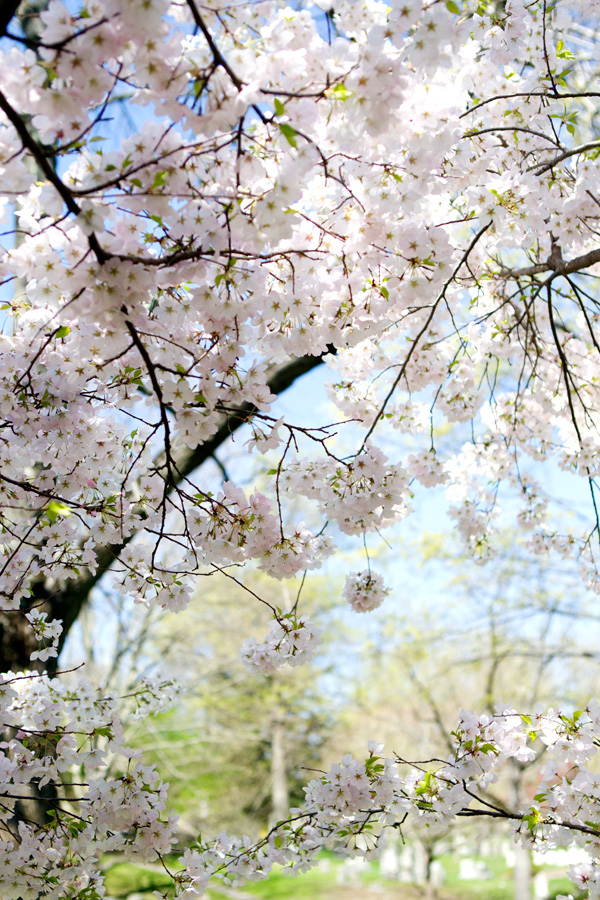 cherryblossoms1