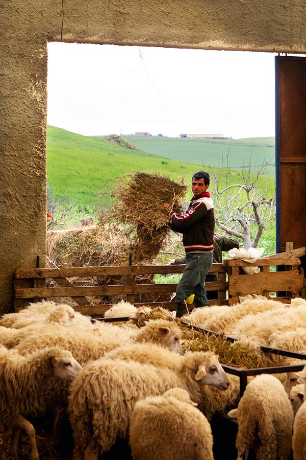 sheepricottafarmsicily